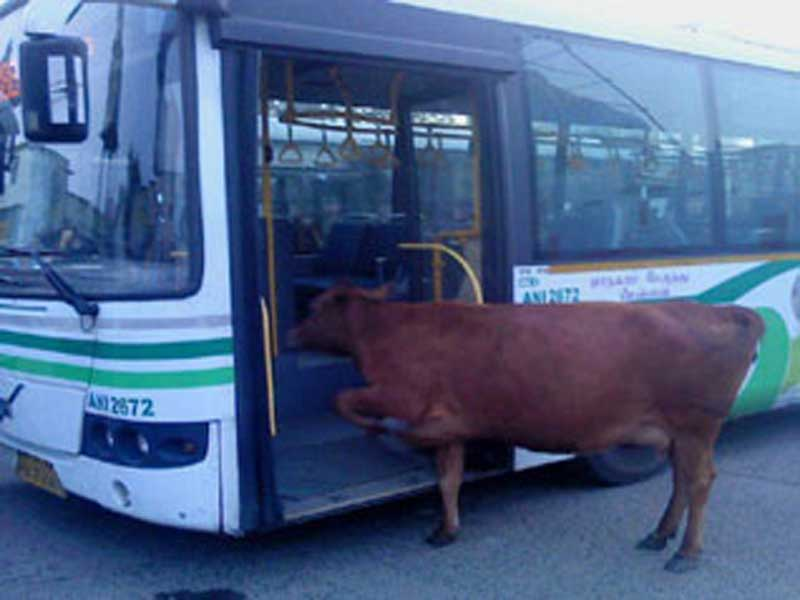 cow_on_a_bus